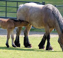 Belgian horse and foal by theheijt