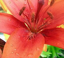 Red Lily up close by Songwriter