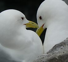 Kittiwakes by David Bass