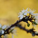 white Blossom by HAPhotography