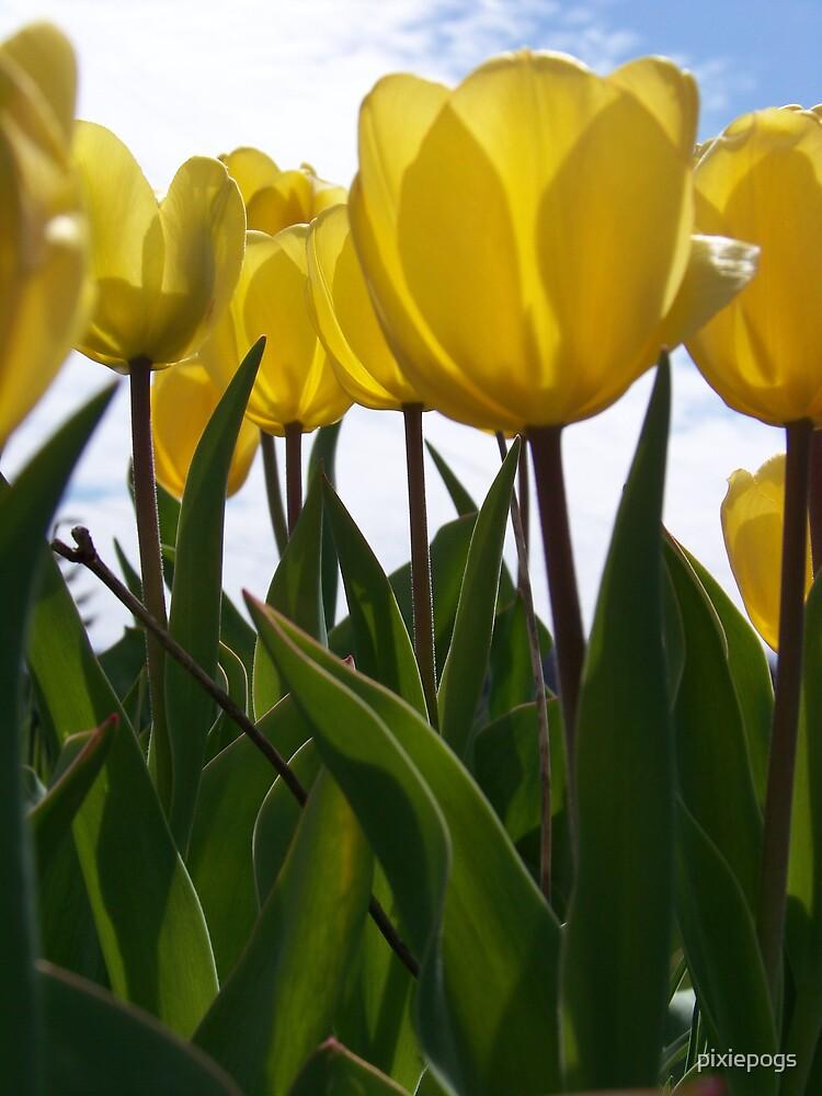 Yellow Tulips by pixiepogs