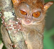 Tarsier from Philippines (Bohol) by Marieseyes