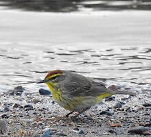 Palm Warbler by PeggCampbell