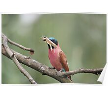 Tropical bird is eating an insect Poster