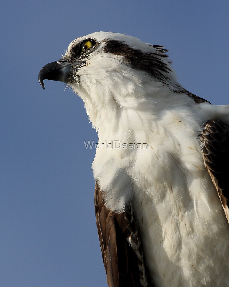 Focused Osprey by William C. Gladish