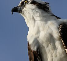 Focused Osprey by William C. Gladish