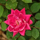 Star Rose by Rick  Friedle