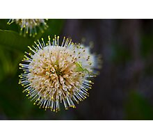 The green spider hiding in a flower ball Photographic Print