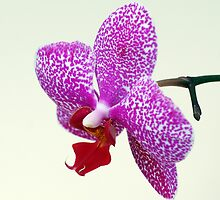 Phalaenopsis Prince by Bill Morgenstern