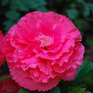 Lolipop Pink Rose by Carol Clifford