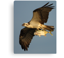 Osprey Fishing Canvas Print