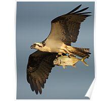 Osprey Fishing Poster