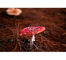 Fly Agaric (Amanita muscaria) Photographic Print
