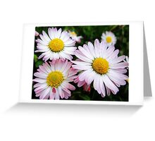 Three white and pink daisies Greeting Card