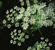 Queen Ann's Lace by Marta Boulden