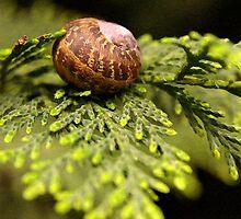 Snail On Connifer Leaf by tarynb