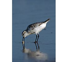 Sanderling with Sand Crab Photographic Print