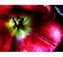 Tulip in Red Photographic Print