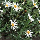 White daisies by Sangeeta