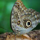 Artreus – Owl Butterfly from Genova Aquarium by loiteke