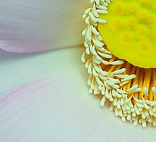 Anthers and petals of Lotus by Mukesh Srivastava
