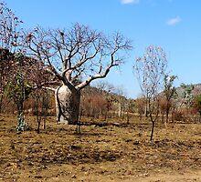 Boab Tree by Jan  Harrison