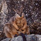 Rock Wallaby... by Janine  Hewlett
