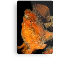 Orange Giant Frogfish Metal Print