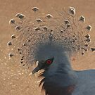 Victoria Crowned Pigeon by Robert Abraham