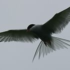 Flying Artic Tern  by David Bass