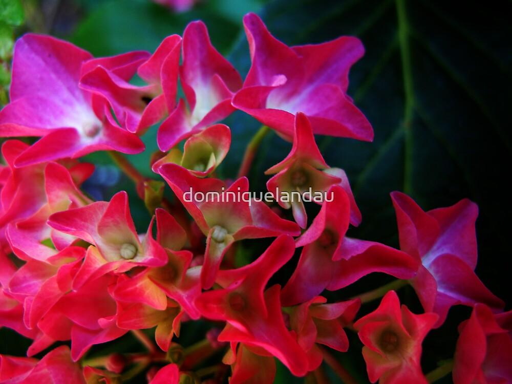 hortensia by dominiquelandau