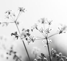 Queen Anne's Lace by David Isaacson