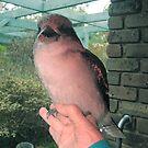 My Kookaburra friend sitting on my hand. by Bev Pascoe