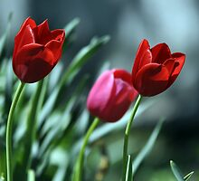 Tulip Trio by ericthom57