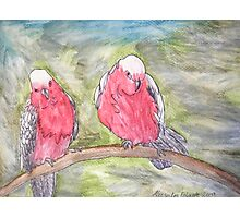 Two Galahs Photographic Print