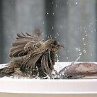 young female house finch splashing in the bird bath by memaggie
