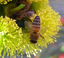 Foraging Bees in Red Capped Gum (illyarrie) Native 'Arilka'.  by Rita Blom