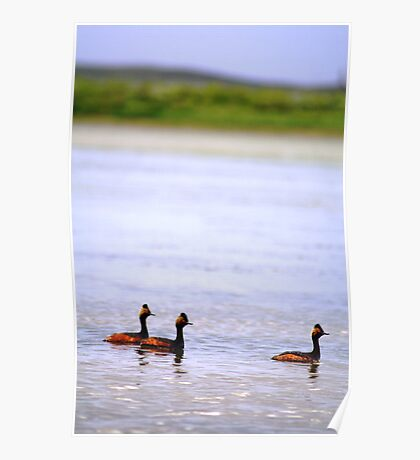 Eared Grebe Poster