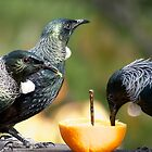 Tui on the orange, the highlight of their day.......! by Roy  Massicks