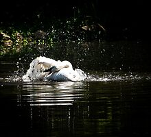 Splish Splash Swan takin a bath. by AlixCollins