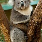 Koala in Tree by DavidsArt