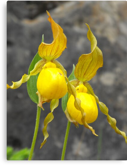 Large Yellow Lady's Slipper- Cypripedium calceolus by Tracy Wazny