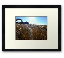 Evening barley Framed Print