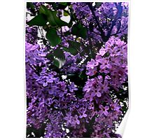 Purple blossoms Poster