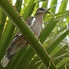 White-Winged Pigeon by Robert Abraham