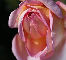 Sweet Rose by Joy Watson