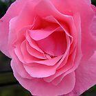 pink beauty by Joyce Knorz