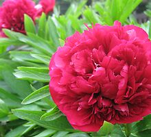 Ruby Red Peony by whitey123