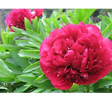 Ruby Red Peony Photographic Print