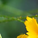 *COREOPSIS IN THE RAIN* by Van Coleman